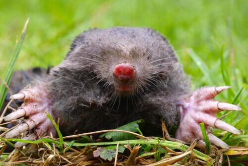 animais cegos: a toupeira