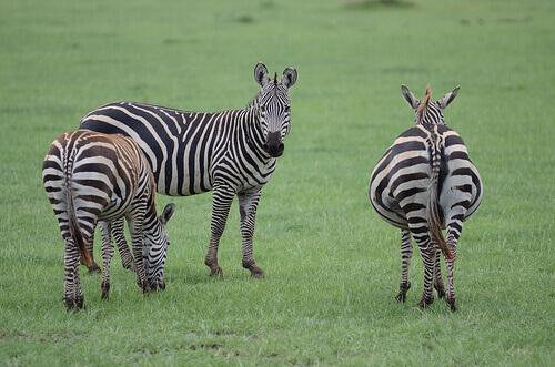 fauna da África do Sul: zebras
