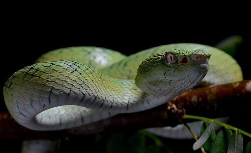 5 cobras mais venenosas do mundo