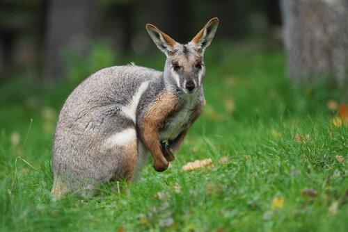 Wallaby: conheça esse marsupial