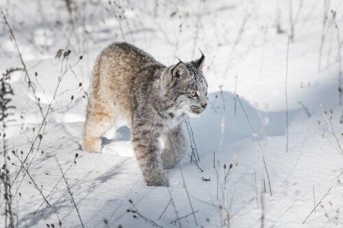 Os principais animais da fauna do Canadá