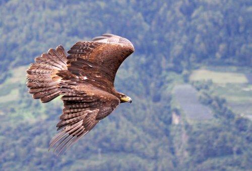 Águia real também faz parte da fauna do Canadá