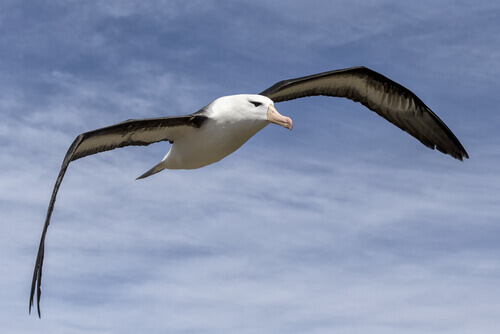 aves marinhas: albatroz