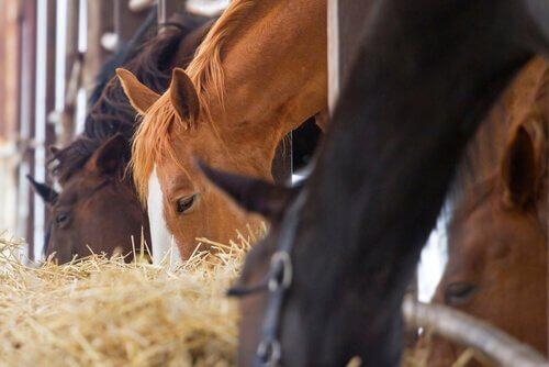 Cavalos se alimentando de feno