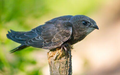 Pássaro que utiliza a ecolocalização