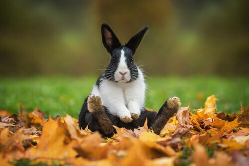 animais digitígrados coelho