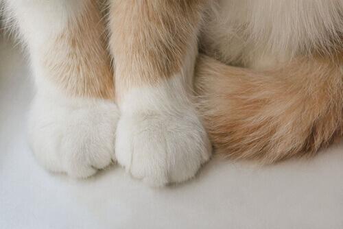 animais digitígrados: patas de um gato