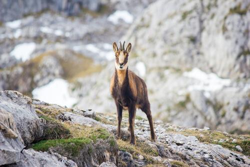 A fauna dos Pirineus: camurça-dos-pirineus
