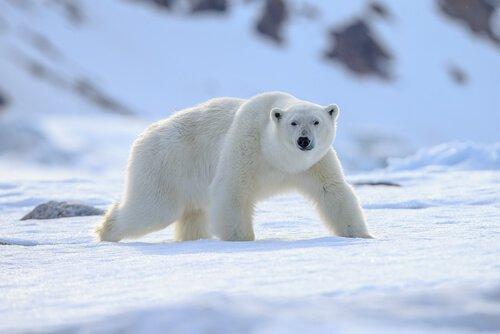 Espécies de animais polares: adaptados ao frio