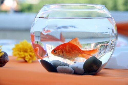 Peixe dourado em aquário