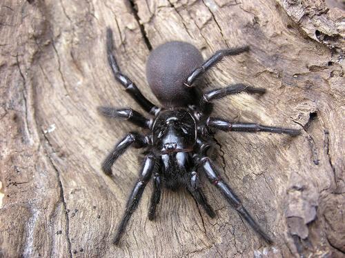 aranhas mais venenosas: conheça-as aqui