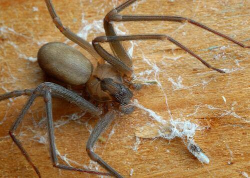 aranhas mais venenosas: aranha-violinista