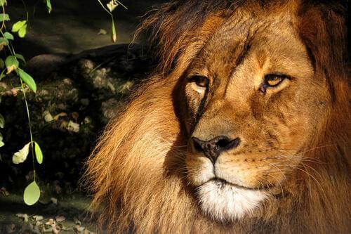 animais famosos na literatura fantástica: o leão Aslan