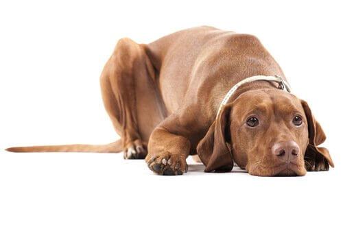 Atrofia testicular em cães