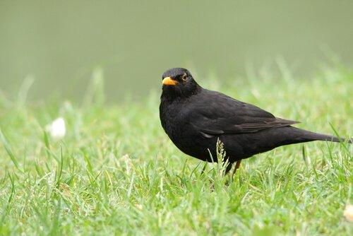 Melro-preto macho