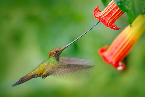 beija-flor bico de espada