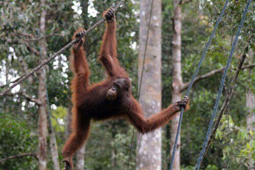 Orangotango na selva