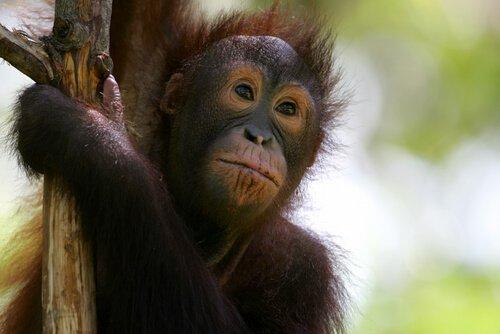 Filhote de orangotango