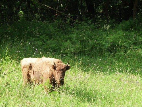 O bisão-europeu: uma história de superação