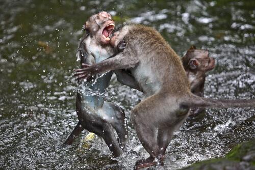guerra entre animais: macacos brigando