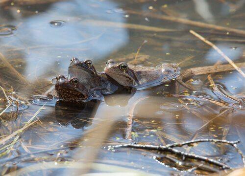 Sapos numa lagoa