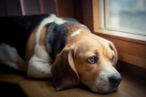 Cachorro olhando triste pela janela