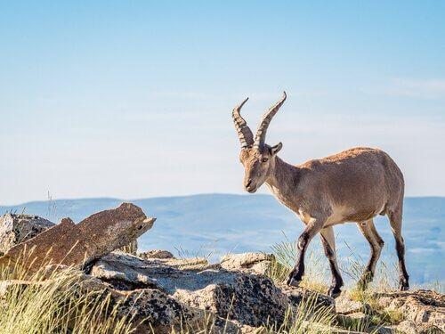 Cabra da montanha