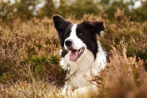 Ajax, o cão que salva aves em perigo de extinção