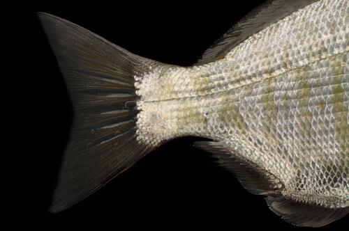 Cauda homocerca em peixes