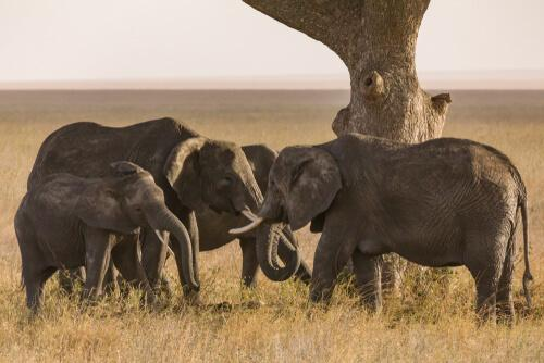 Cemitérios de elefantes: mito ou realidade?