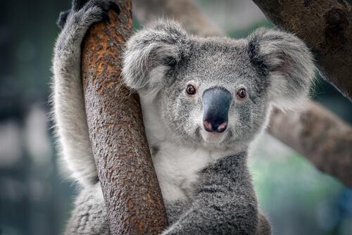 Urso coala: um dos animais mais fofos do mundo