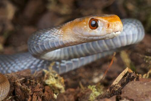 5 espécies de cobras mais venenosas: cobra de Taipan
