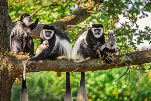 Macaco colobus: características, comportamento e habitat