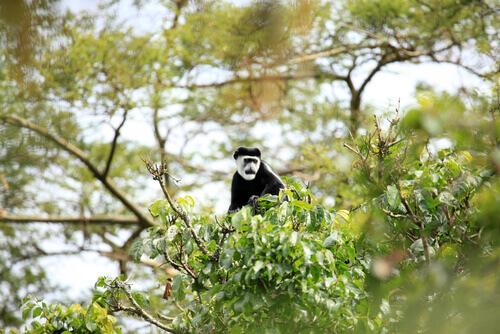 macaco colobus