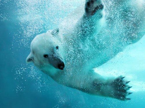Como é a vida do urso polar?