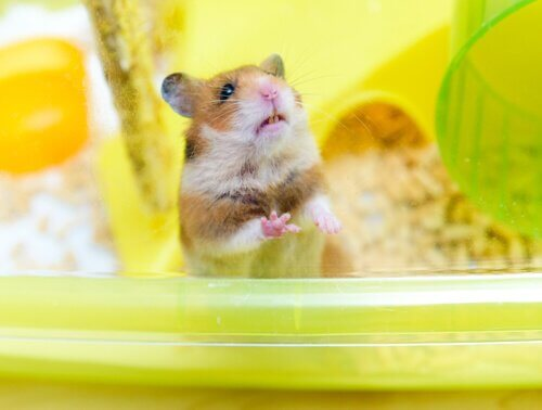 hamster como pet