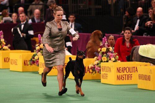 Curiosidades sobre o concurso de beleza canina Westminster Kennel Club