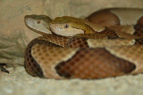 Cópula das cobras