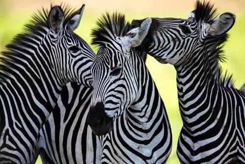 Cor da zebra: o animal com a pelagem mais curiosa
