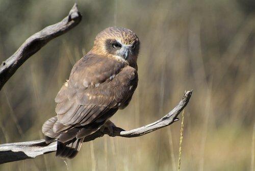 Coruja-maori