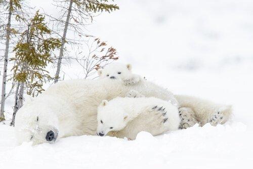 Ursa polar com filhotes
