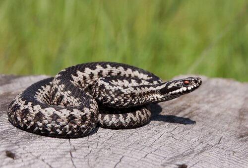Diferenças entre cobras e víboras