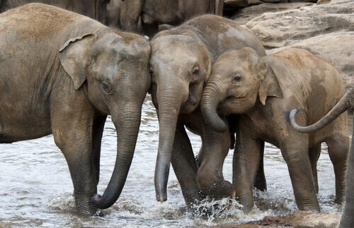 Diferenças entre elefantes asiáticos e africanos