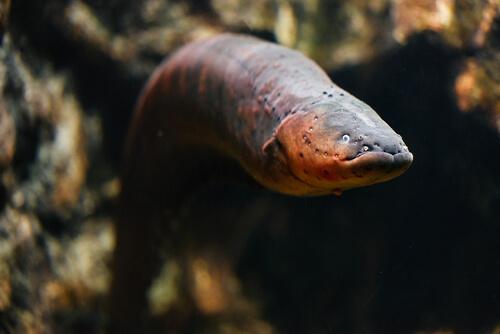 Enguia: saiba mais sobre esse temido peixe