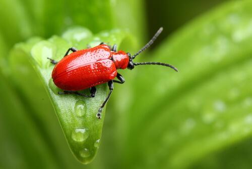 animais na cor vermelha: besouro