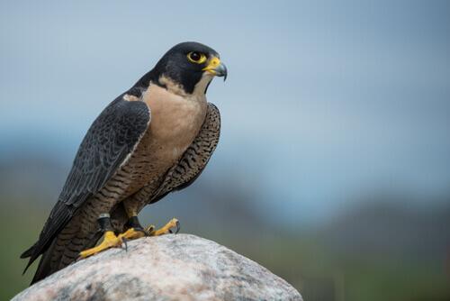 5 espécies de falcões