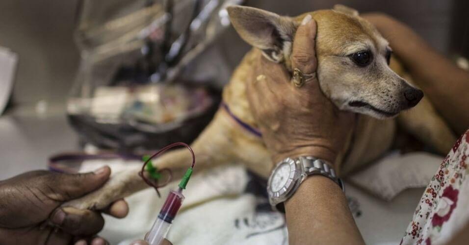 Exame de sangue em cachorro