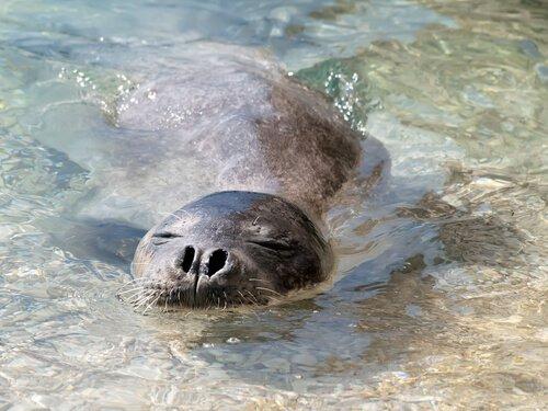 foca-monge