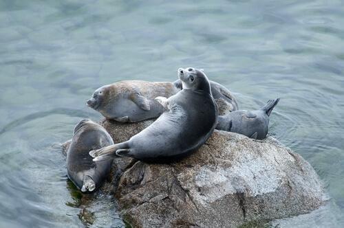 vida das focas