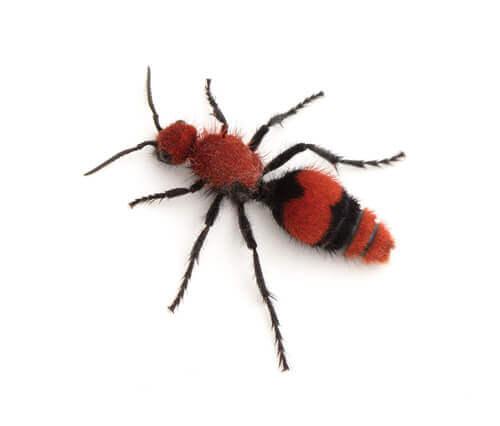 Formigas-feiticeiras